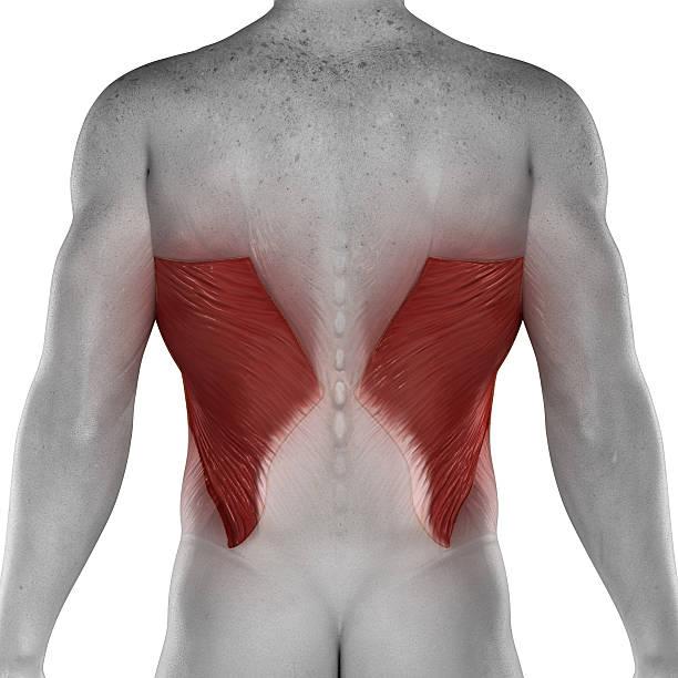 Breitester Rückenmuskel männliche Muskeln Anatomie isoliert hintere Blick – Foto