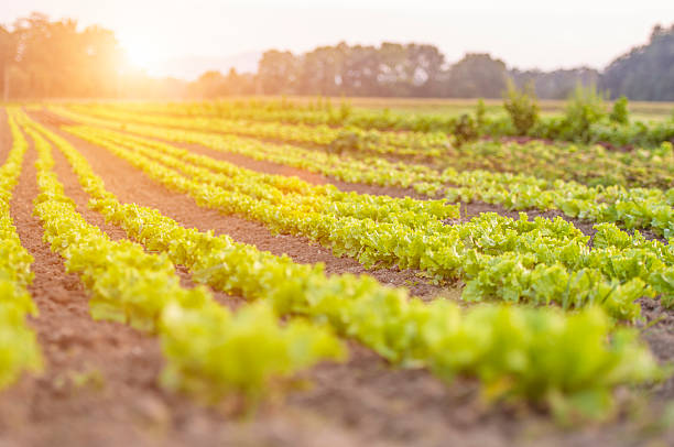 Lattuce field Rows of organic green lattuces. butterhead lettuce stock pictures, royalty-free photos & images