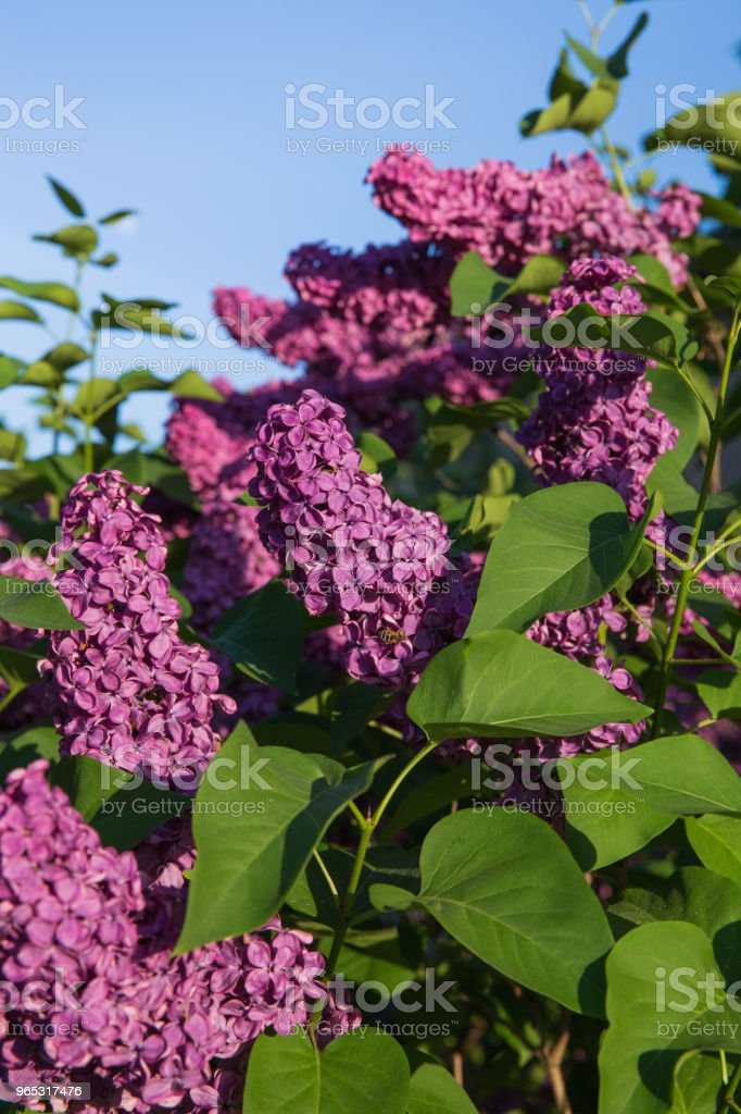 Latvia, green garden and lilacs. Sunny summer day and beautiful flowers. royalty-free stock photo