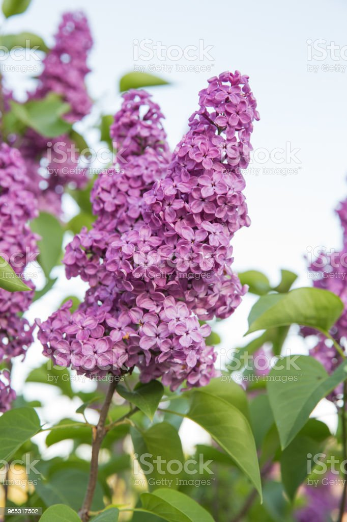 Latvia, green garden and lilacs. Sunny summer day and beautiful flowers. zbiór zdjęć royalty-free