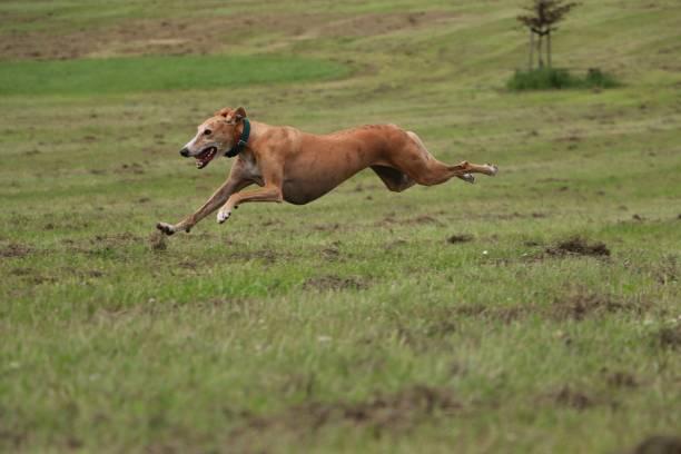 Laufender windhund – Foto