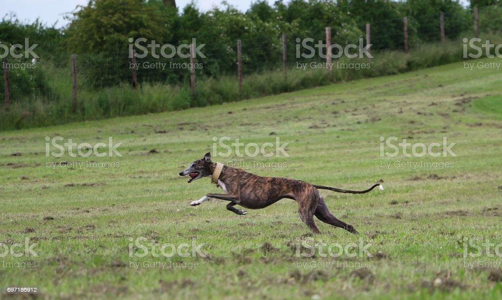 laufender windhund stock photo