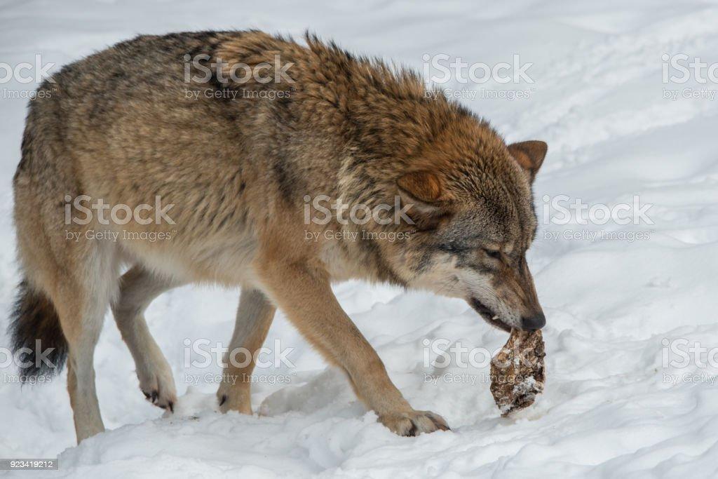 laufender Wolf mit Futter stock photo