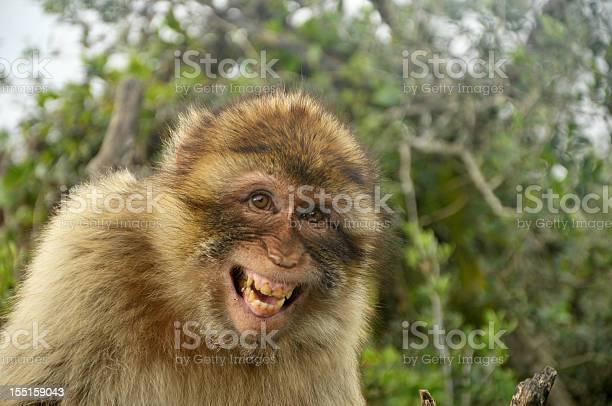 Laughing barbary ape gibraltar picture id155159043?b=1&k=6&m=155159043&s=612x612&h=vvnnl kktcf0g6krdqoixosdjx7ybrjlxsta 2nf5w4=