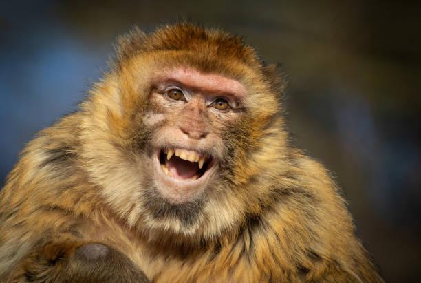 rire de macaque berbère - singe magot photos et images de collection