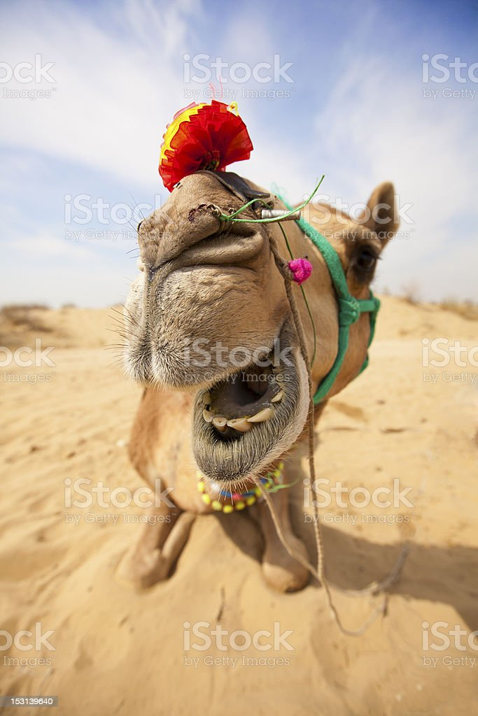 Laughing Camel stock photo