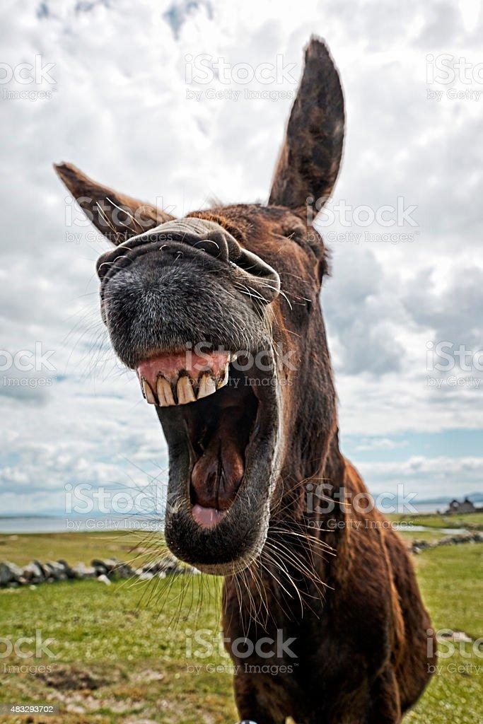 Laughing Donkey royalty-free stock photo