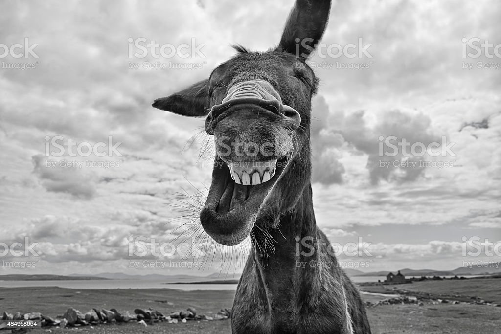 Laughing Donkey stock photo