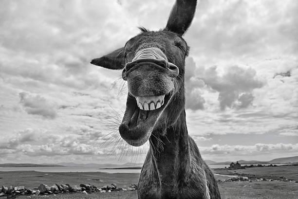 Laughing Donkey stock photo