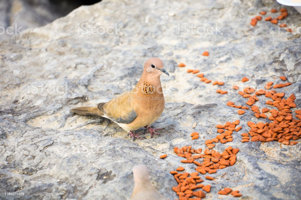 Laughing Dove With Cat Food In Abu Dhabi Stock Photo ...