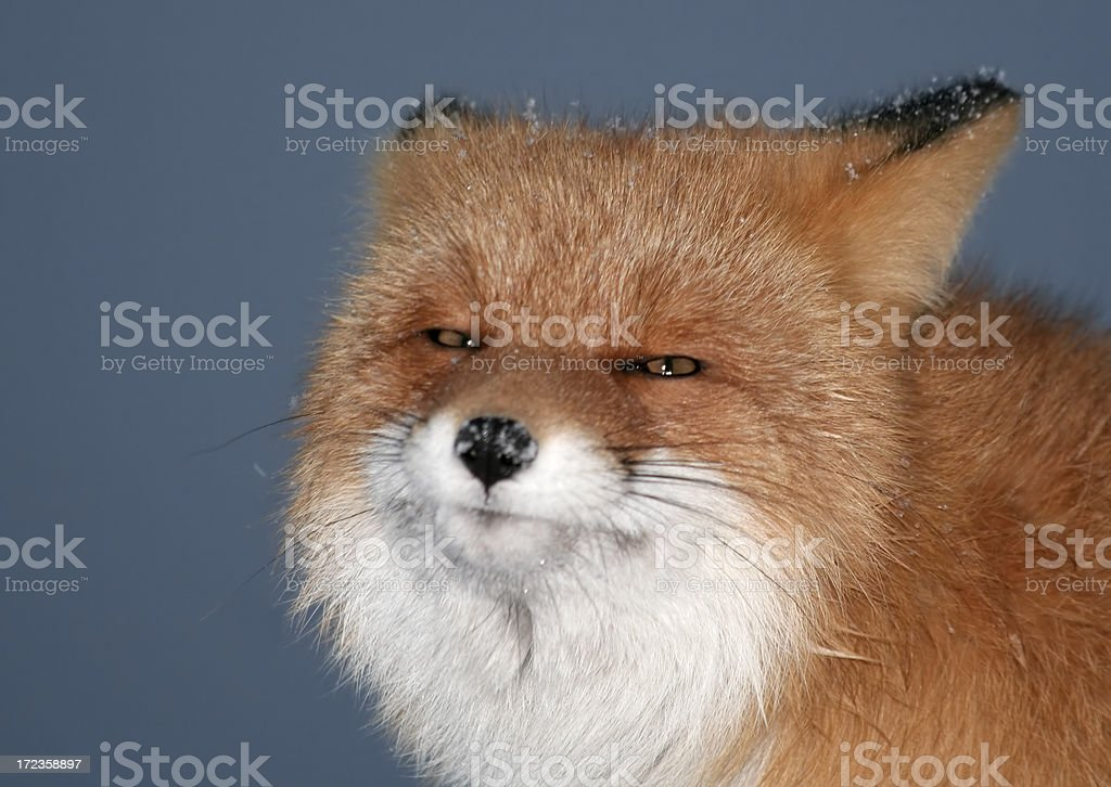 Laughing fox. royalty-free stock photo