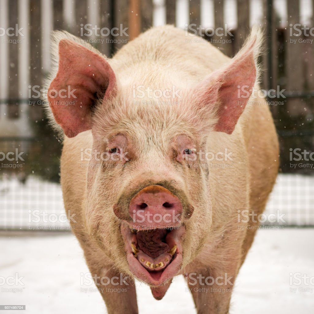 laughing funny big pig stock photo