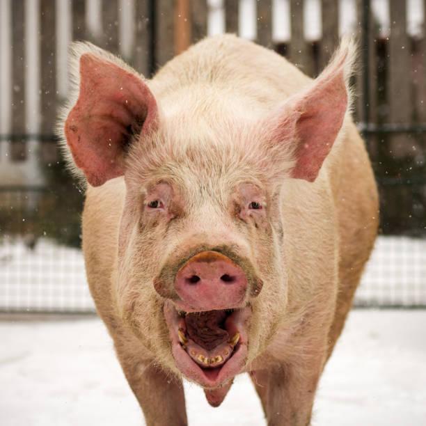 lachen lustig großen schwein - pig ugly stock-fotos und bilder