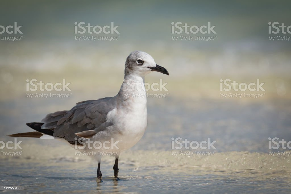 Laughing Gull   Larus atricilla - Adult In Non-Breeding Plumage - Close-Up stock photo
