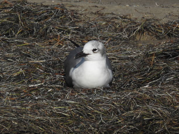 Laughing gull resting by the shore stock photo