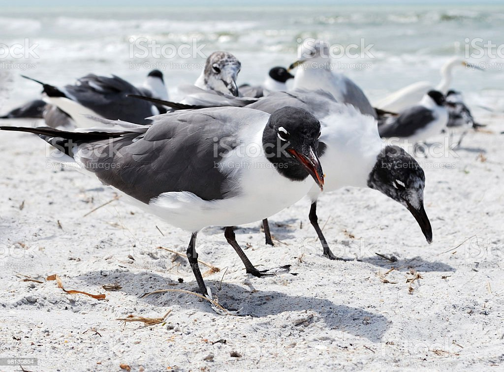 Laughing Gull (Leucophaeus atricilla) with Mating Plumage on Winter Beach royalty-free stock photo
