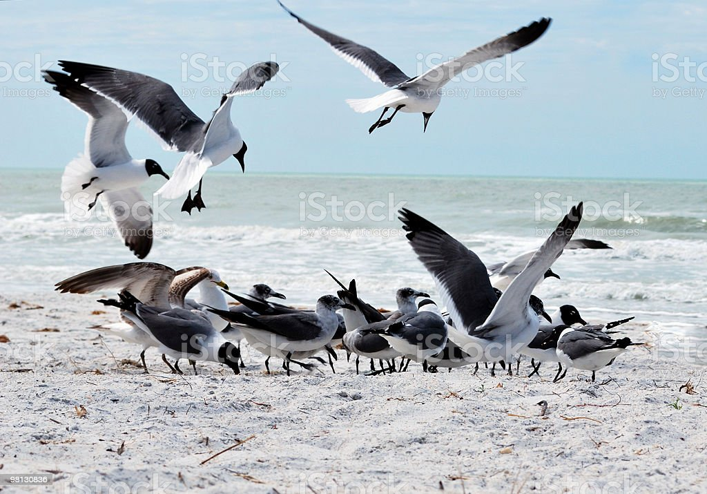 Laughing Gulls (Leucophaeus atricilla) Gather on Cold Cloudy Winter Beach royalty-free stock photo