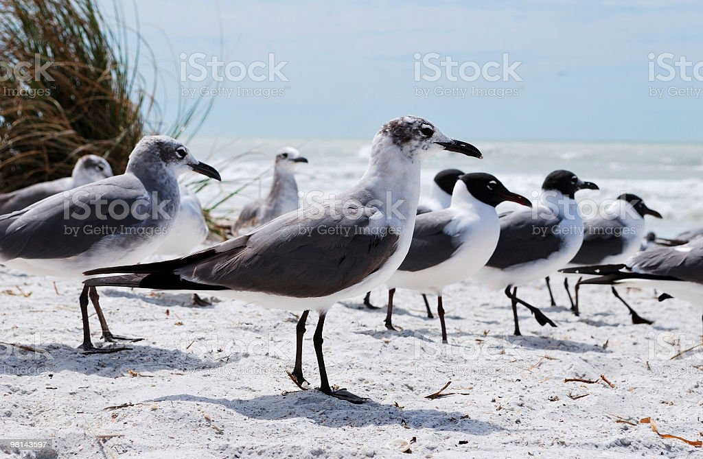 Laughing Gulls or Larus atricilla (Leucophaeus) Various Stages of Plumage royalty-free stock photo