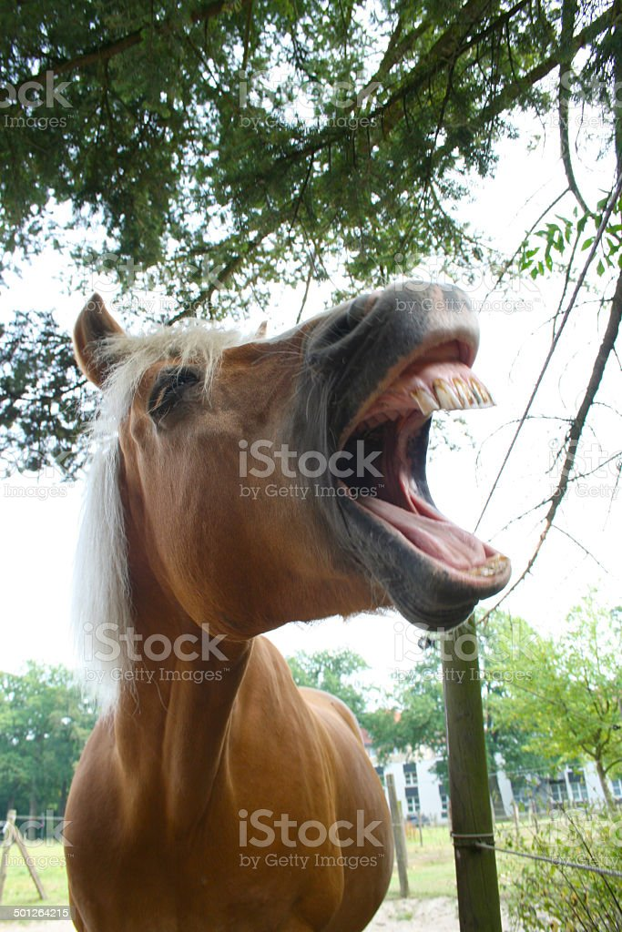 Lachender Haflinger stock photo