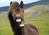 An icelandic horse appears to give a big smile.