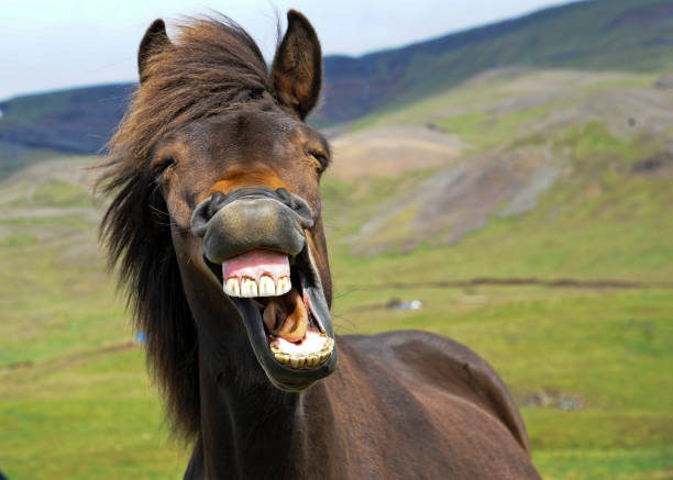 Laughing Horse An icelandic horse appears to give a big smile. amusing stock pictures, royalty-free photos & images