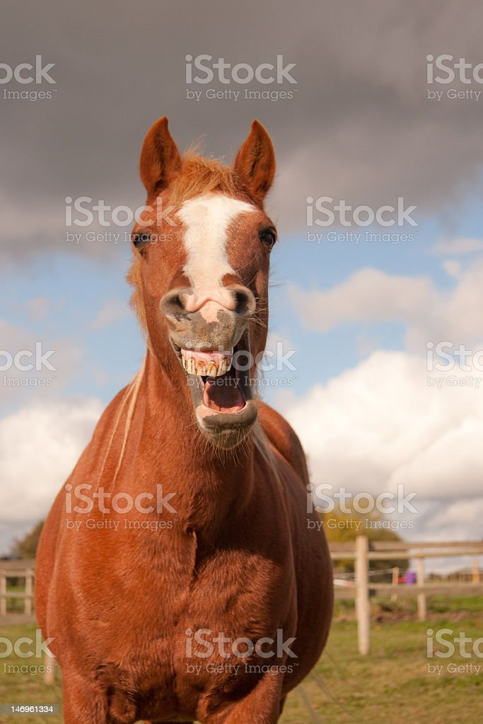 'Laughing' horse royalty-free stock photo