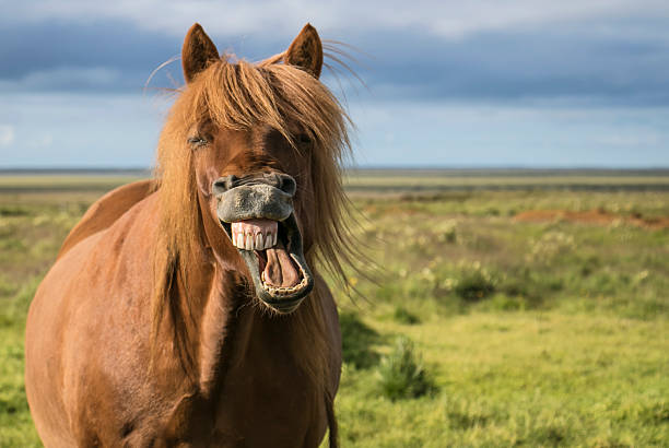 laughing horse - horse stock pictures, royalty-free photos & images