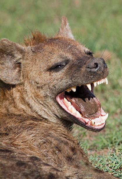 laughing hyena - hyena stockfoto's en -beelden