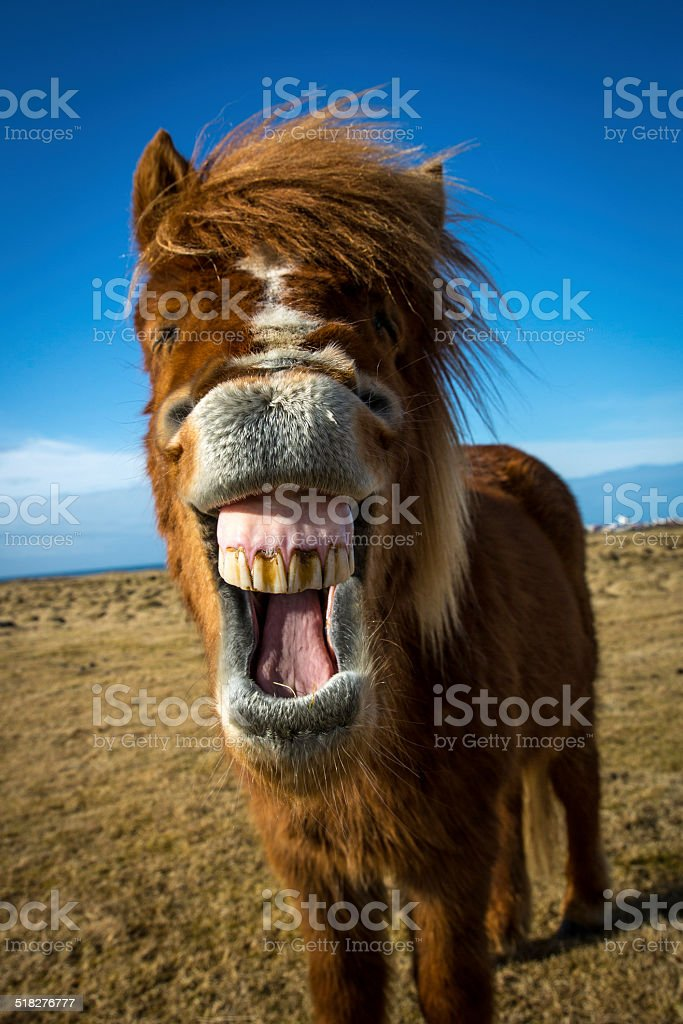 Laughing Icelandic Horse stock photo