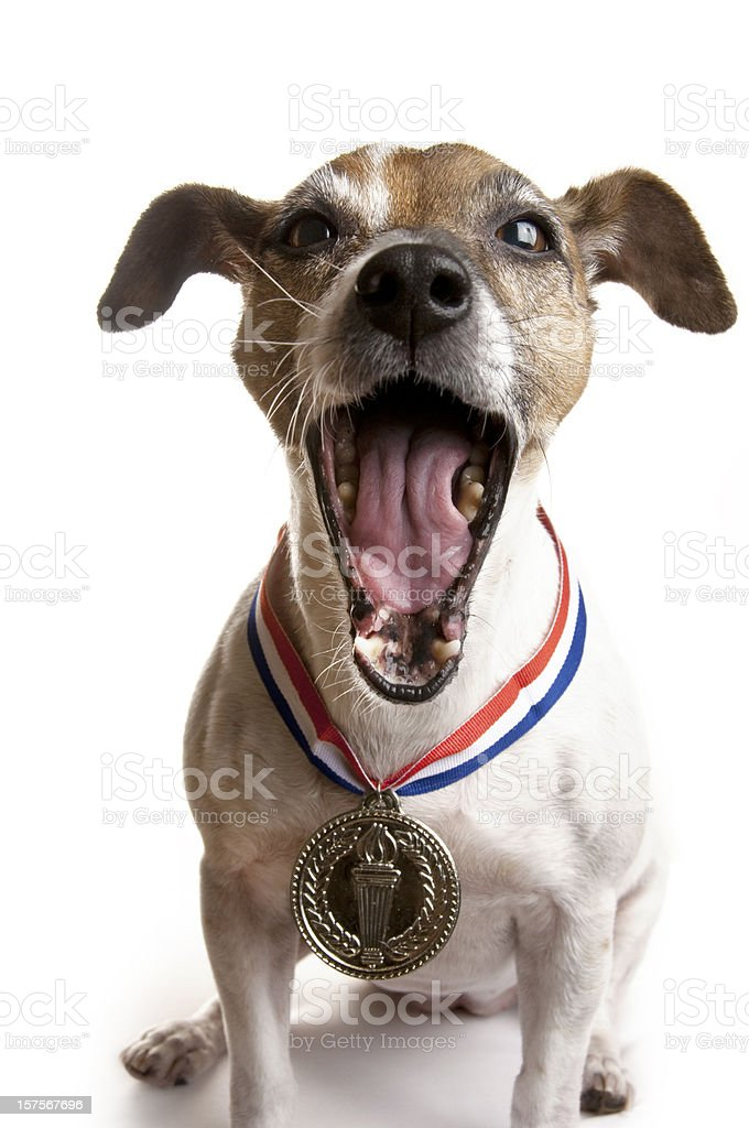 Laughing Jack Russell Terrier Dog with Gold Medal royalty-free stock photo