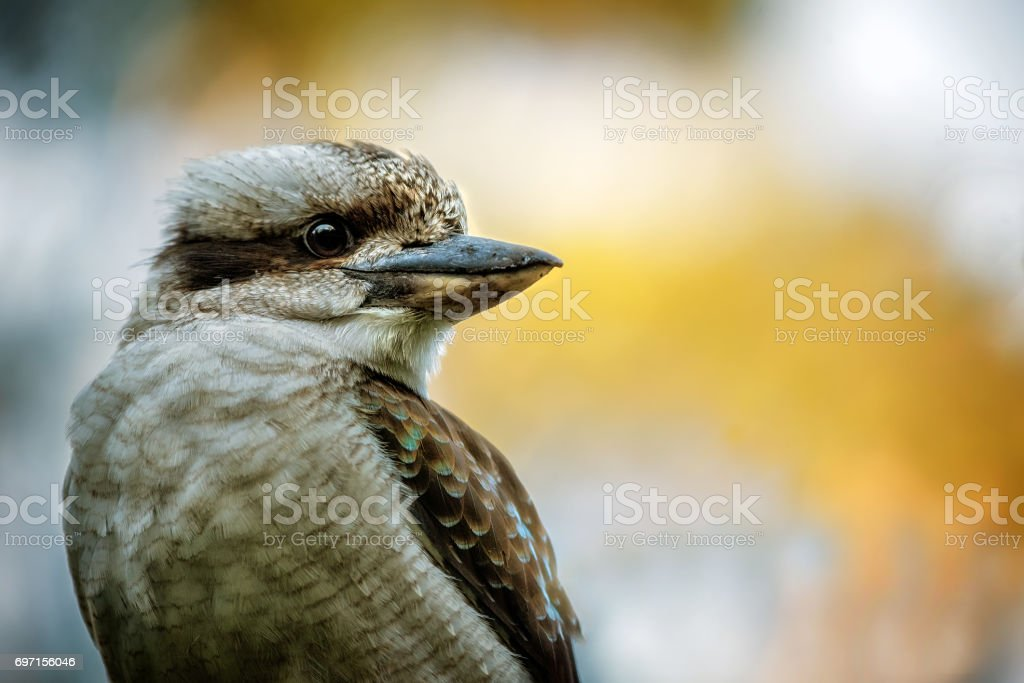 Laughing Kookaburra stock photo