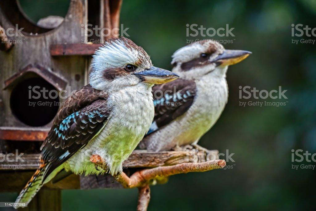 Laughing Kookaburras (Dacelo novaeguineae) - Royalty-free Animal Stock Photo