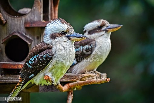 Two Australian native Laughing Kookaburras