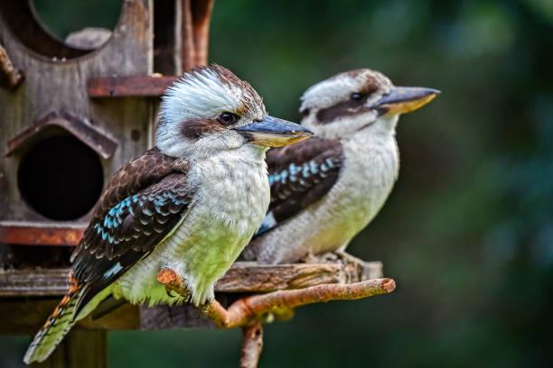 Laughing Kookaburras (Dacelo novaeguineae) stock photo