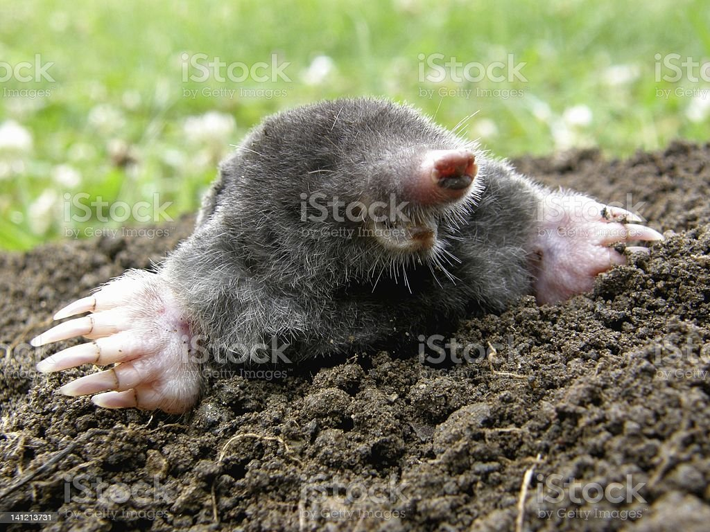 Laughing mole stock photo
