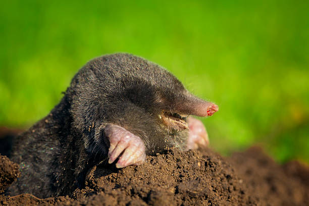 Laughing mole Laughing mole crawling out of molehill mole animal stock pictures, royalty-free photos & images
