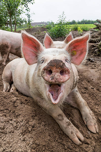 Laughing Pig on Farm Happy Pigs in dirt snout stock pictures, royalty-free photos & images