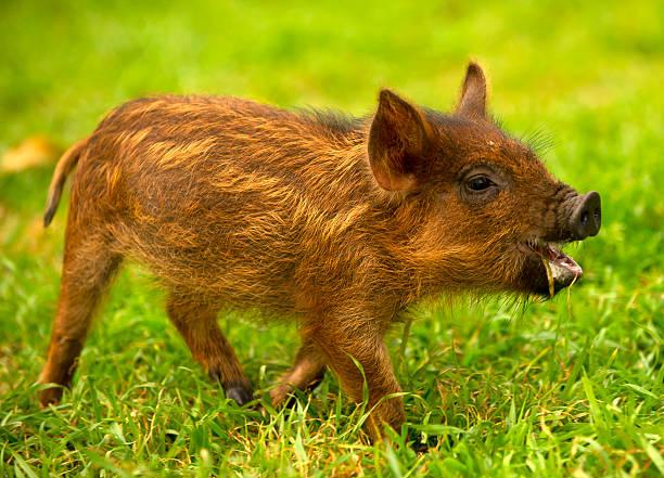 Laughing Pig
