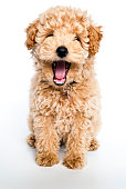 A poodle puppy yawning, that looks like it is laughing on a white background