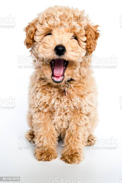 Laughing poodle puppy dog picture id941341676?b=1&k=6&m=941341676&s=612x612&h=g5g71gw 6ivqx1dvtpe3iz6i9  4dnfh8vscggnyf 4=