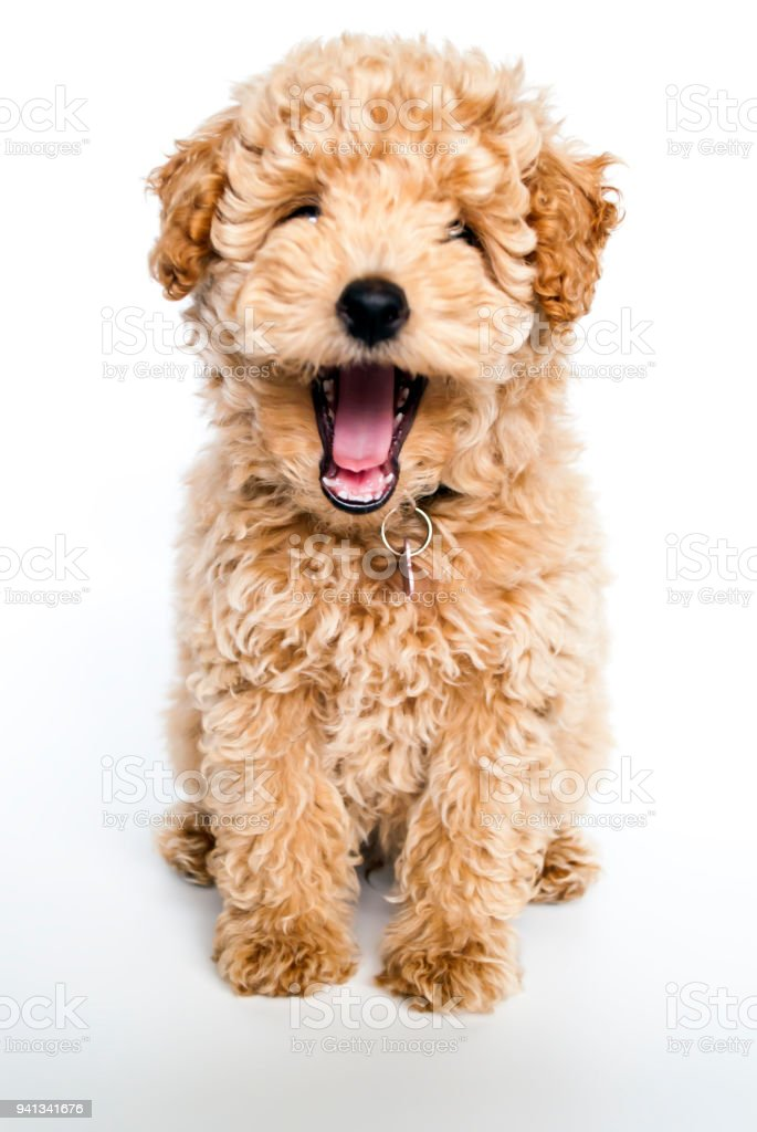 Laughing poodle puppy dog - fotografia de stock