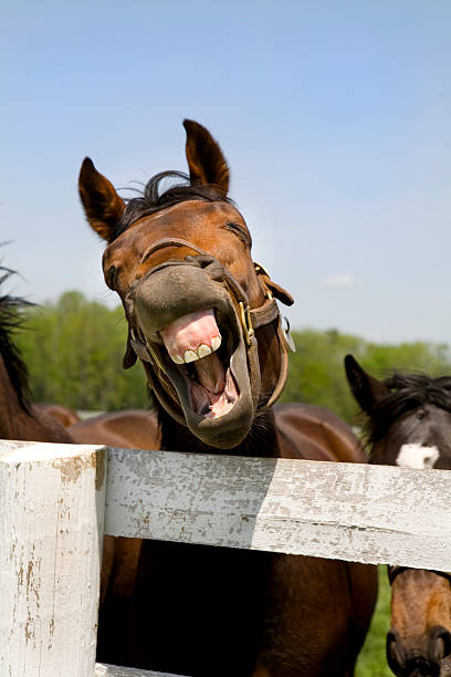 lachen thoroughbred rennpferd - lustige pferde stock-fotos und bilder