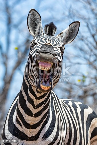 A closeup of a Zebra that looks as if he is laughing