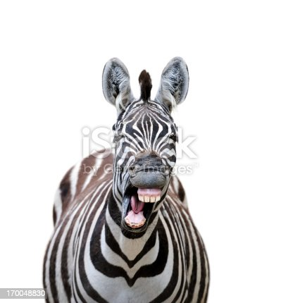 a yawning zebra with a funny face isolated on white background