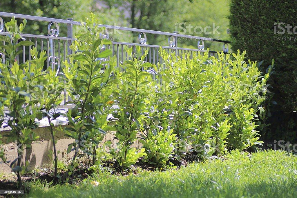 Laurel along fence in garden stock photo