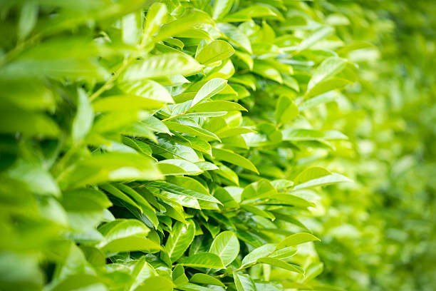 Laurel hedge selective focus leaves stock photo