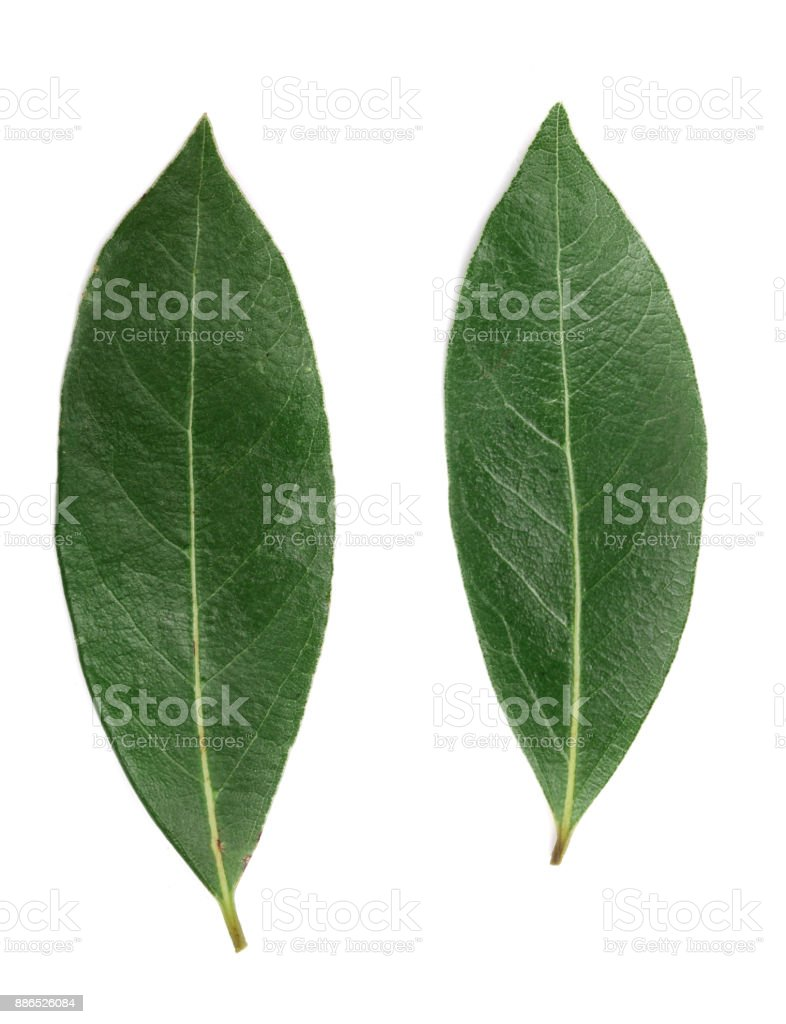 laurel leaf isolated on white background. Fresh bay leaves. Top view stock photo