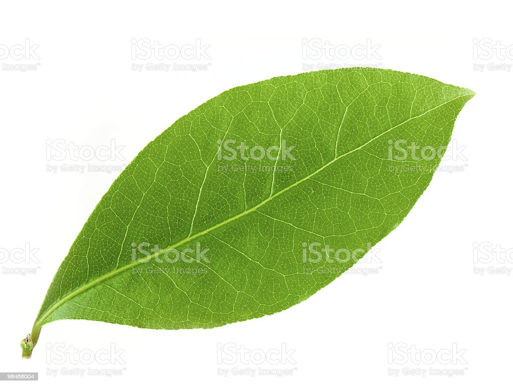 Laurel leaf royalty-free stock photo