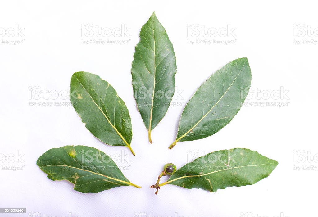 Laurel leaves in circle on a white background stock photo