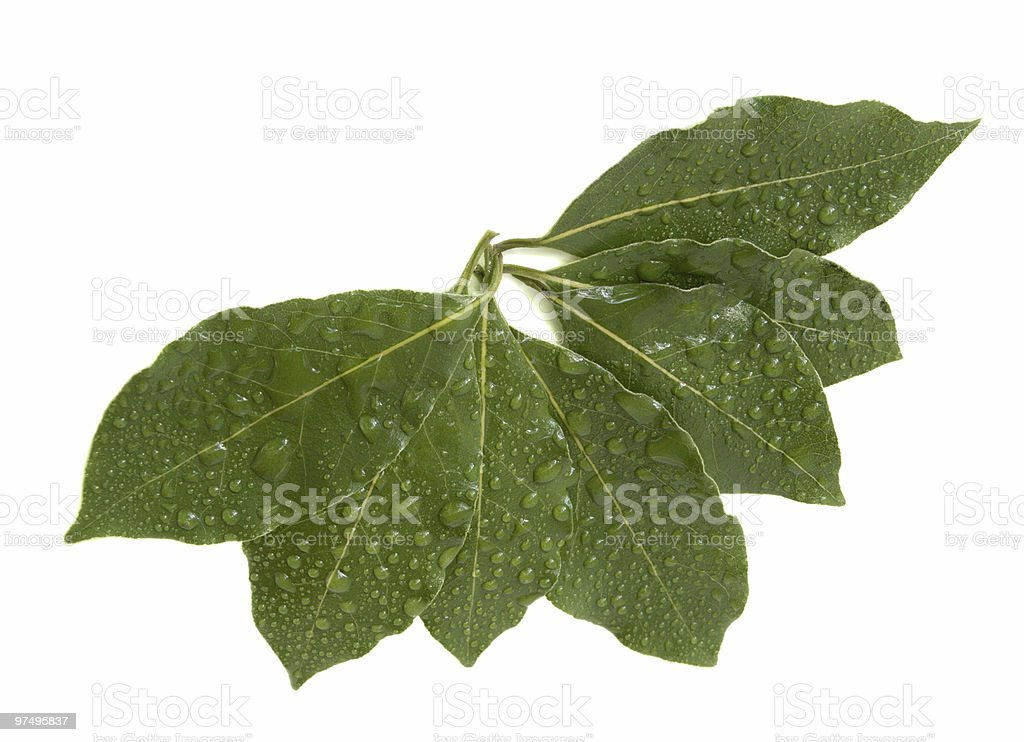 Laurel leaves royalty-free stock photo